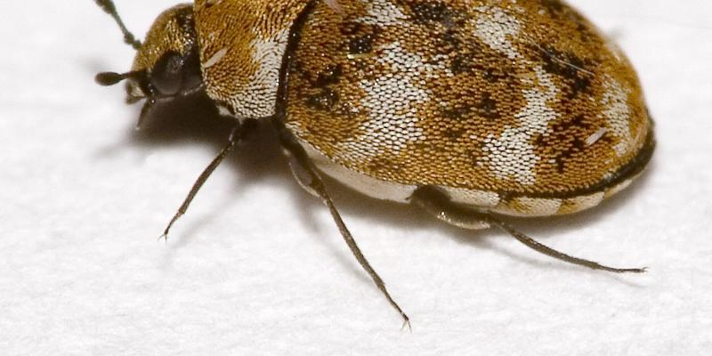 carpet beetle, pest control al, pest control ga, bug proofing