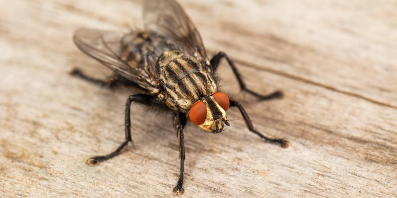 Fly Populations Around Your Home Knox Pest Control