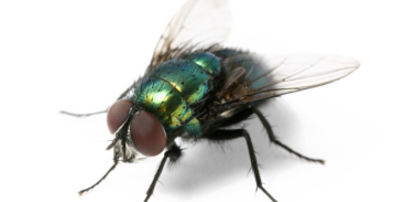 flies, pest control service, house fly