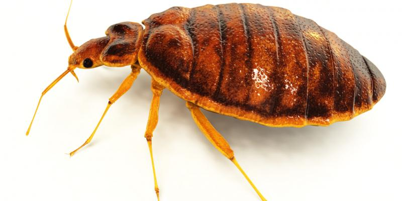 bed bugs, travel, summer bugs, pest control