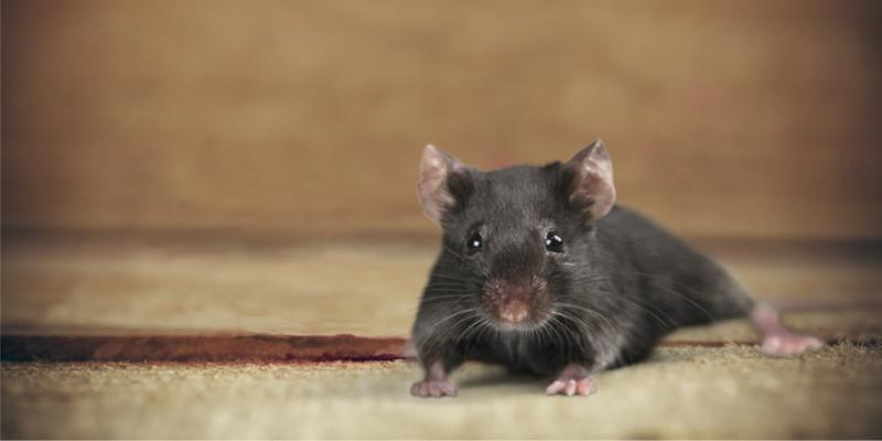 mouse, mice removal, pest control, wildlife control, pest control service ga, pest control service al, winter pest control