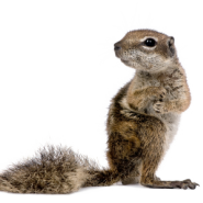 squirrels, squirrel control, squirrel removal service, rodents, wildlife control