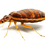 bed bugs, bed bug service, pest control service ga, pest control service al