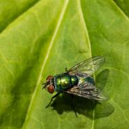 fly, house fly, fly pest control, knox pest control, fly removal