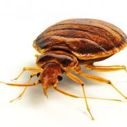 bed bugs, pest control, bugs, summer bugs