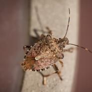 stink bug, pest control columbus ga, bug proof, winter pest control